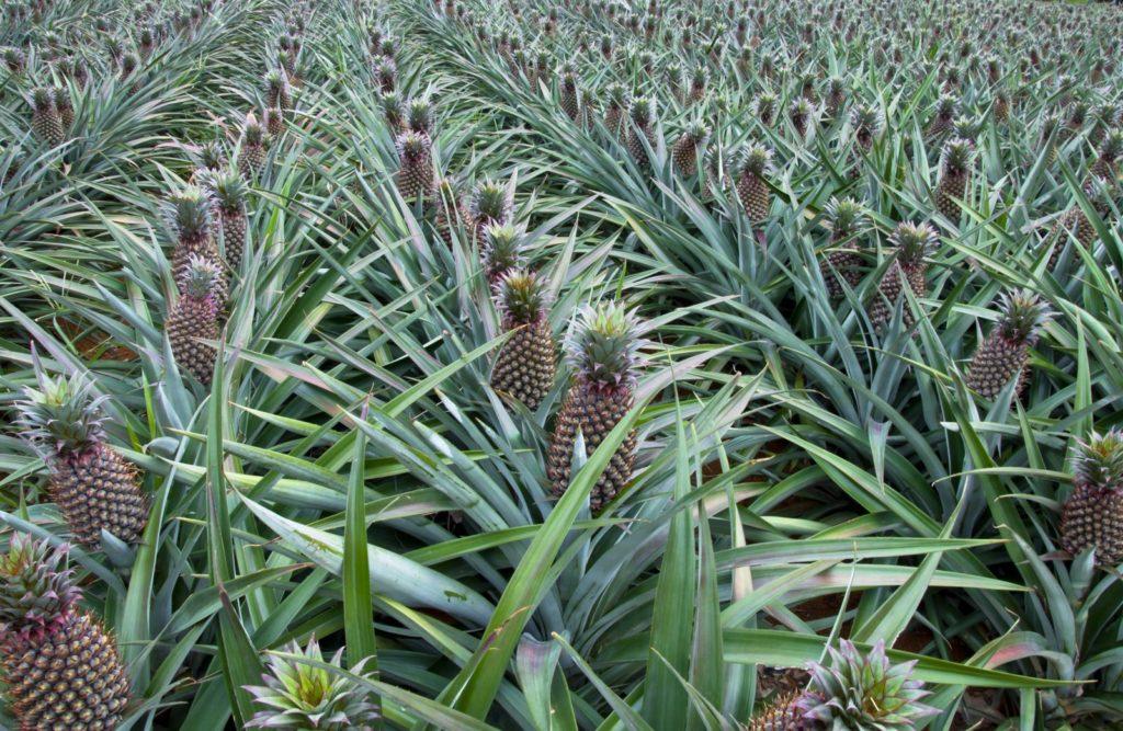Anbaugebiete der Ananas
