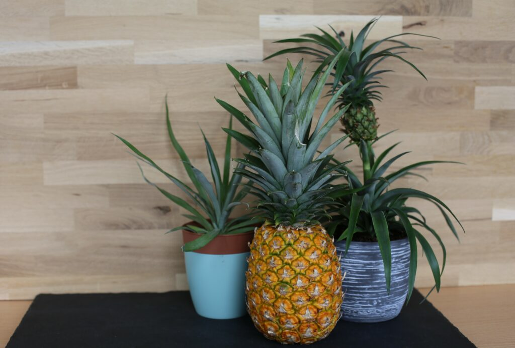 Selbst angebaute Ananas