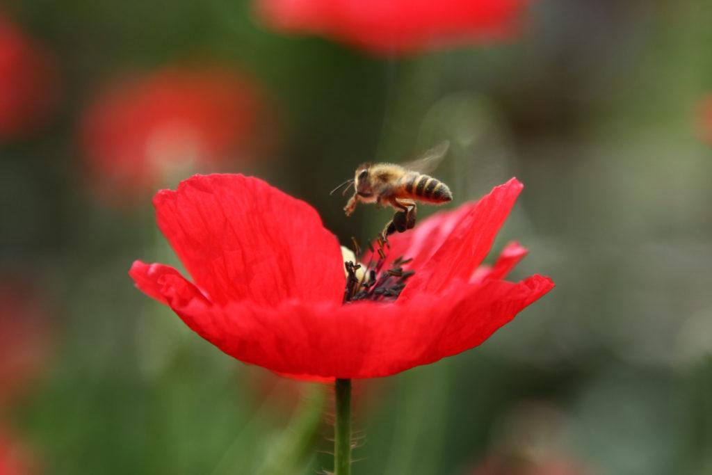 Biene an einem Klatschmohn