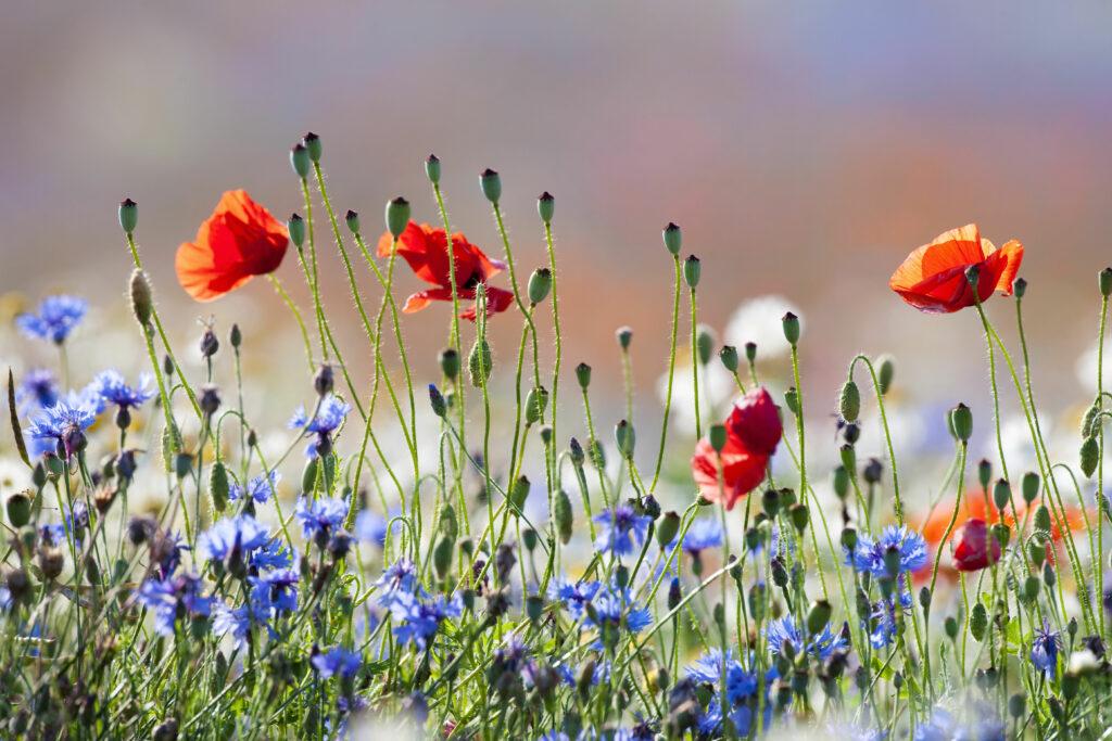 Blumenwiese mit Klatschmohn und Kornblumen
