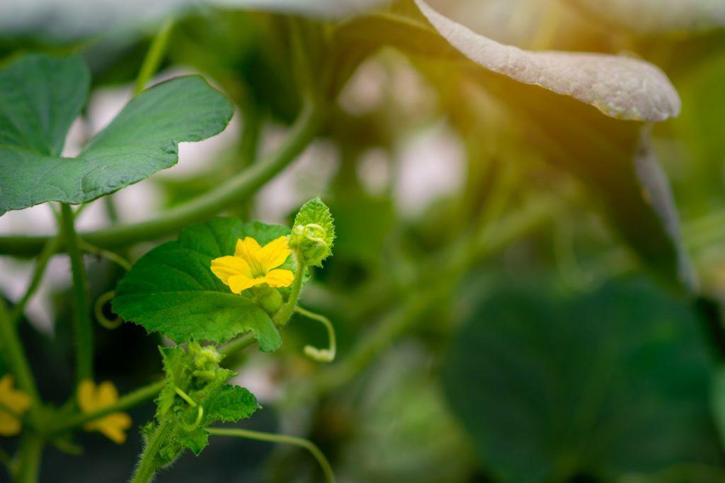 Blüte der Cantaloupe-Melone
