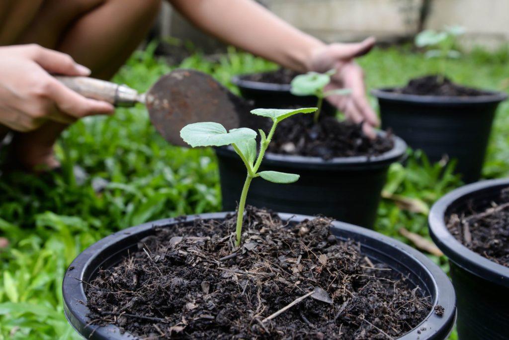 Cantaloupe-Melone wird eingepflanzt
