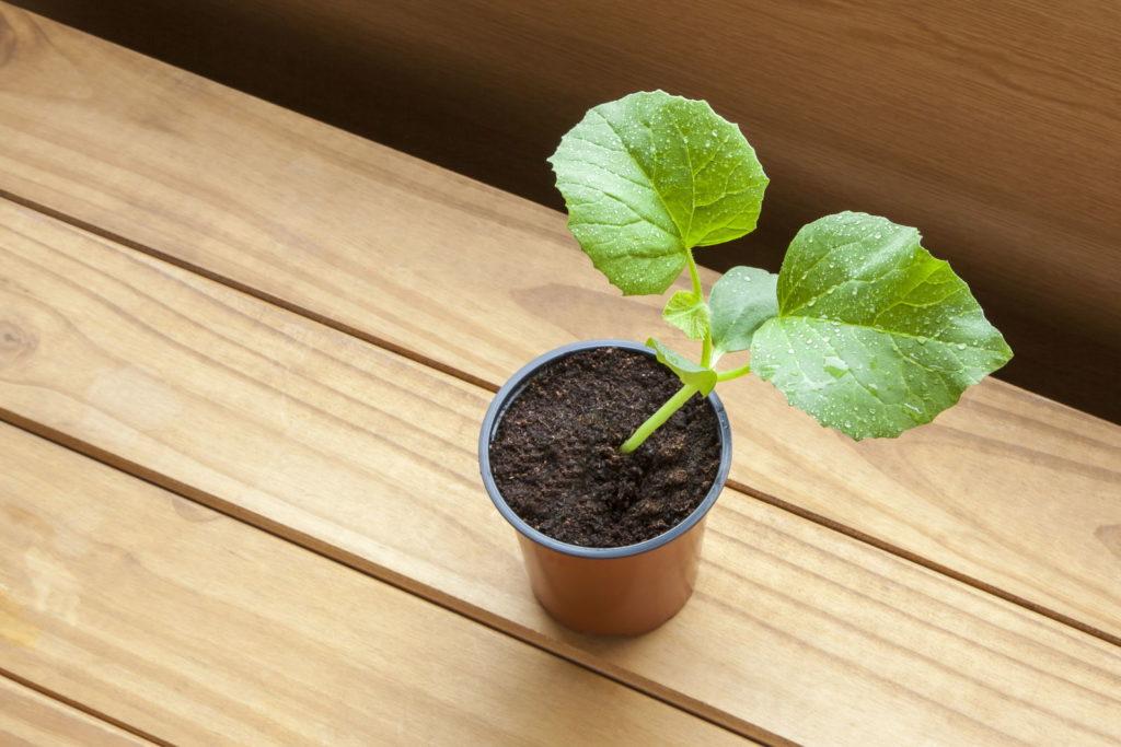 Cantaloupe-Melone Jungpflanze