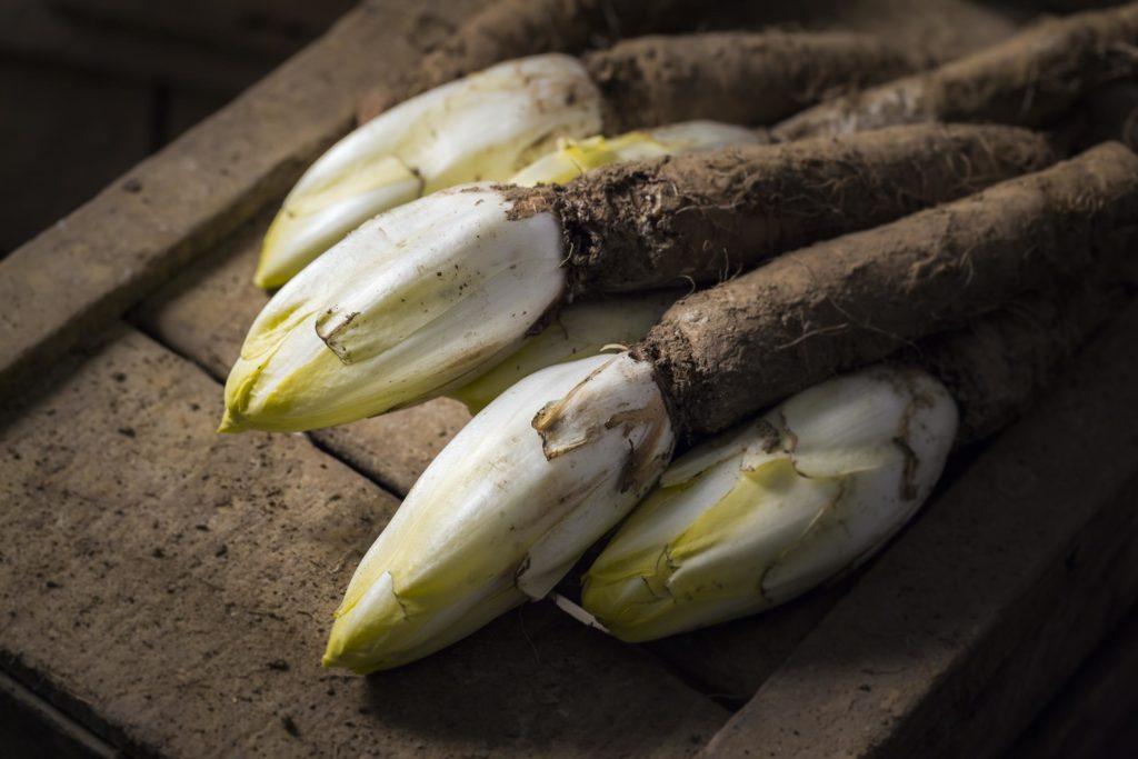 Sprossen des Chicorées treiben aus