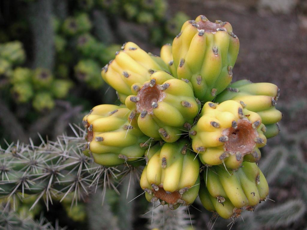 Früchte der Cylindropuntia imbricata