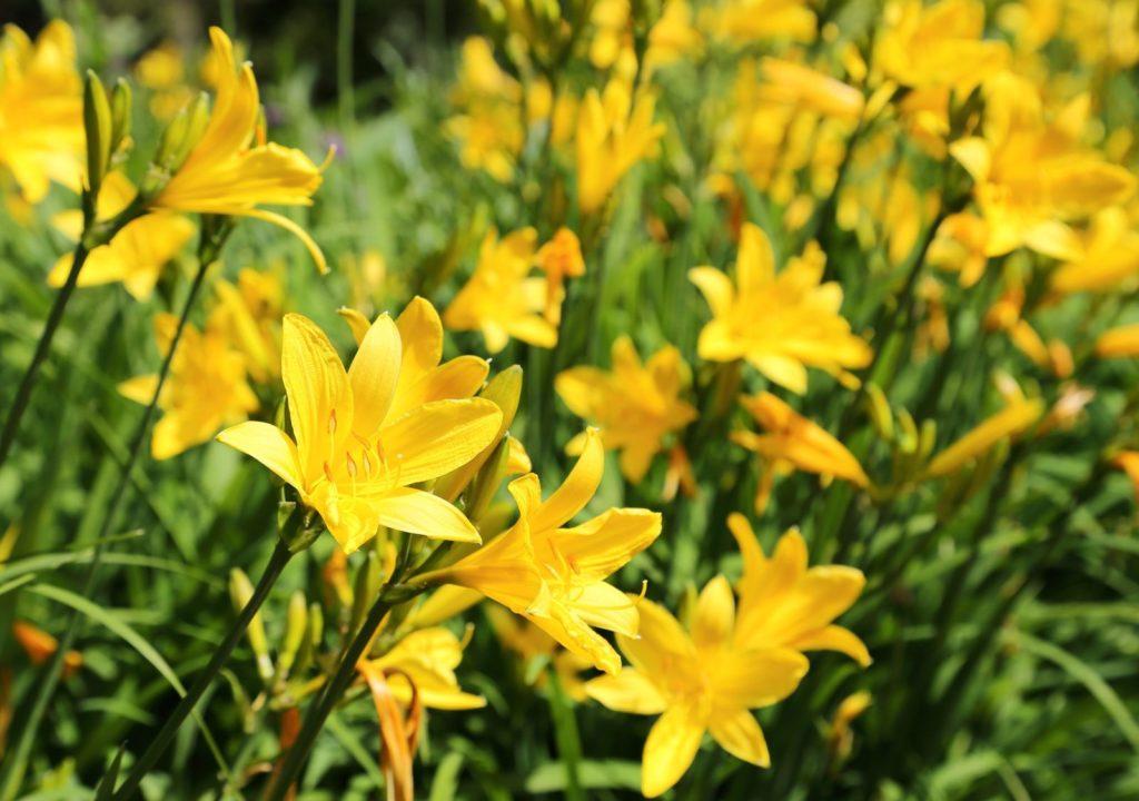 Gelbe Taglilie wächst als Staude