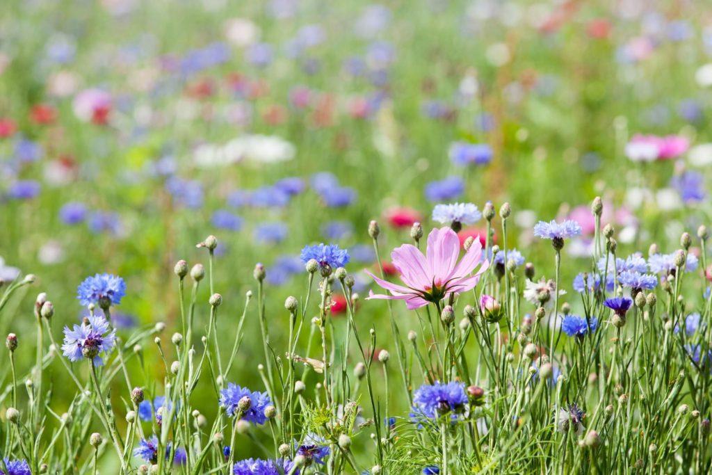 Wildblumenwiese mit vielen Blumen im Garten