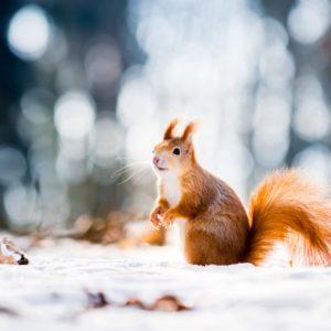 Eichhörnchen Sitzt Im Schnee