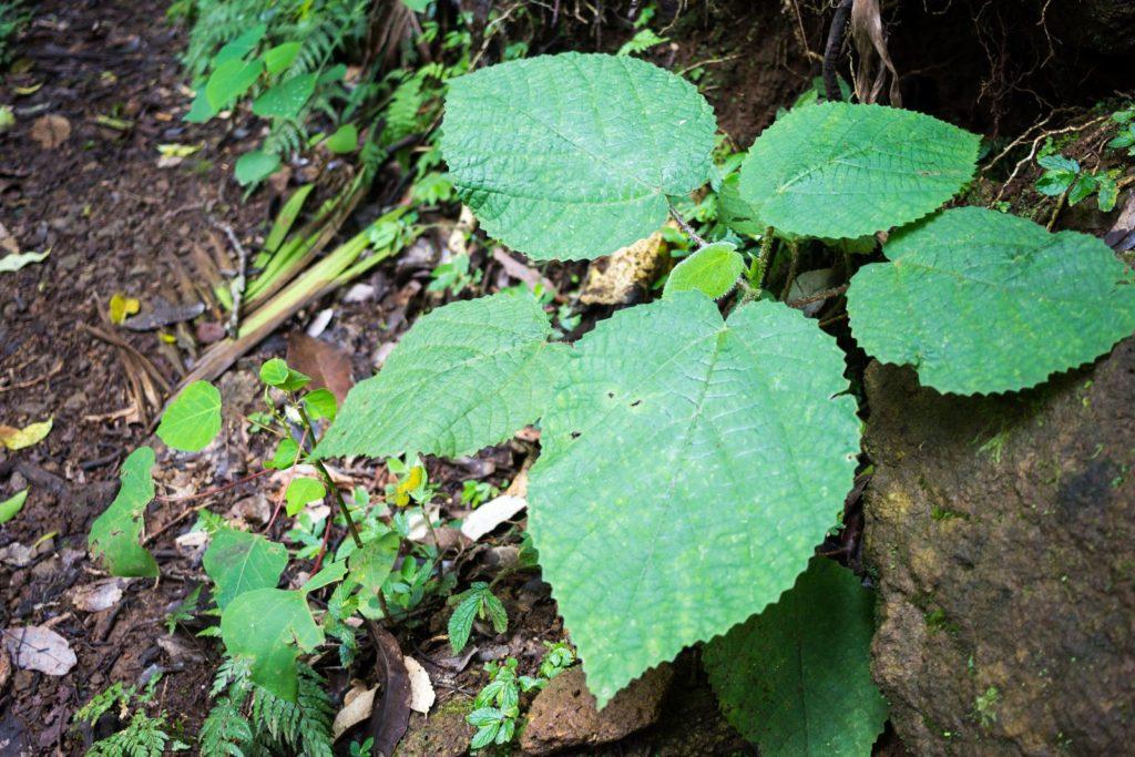 Die Australiche Brennessel hat große Blätter und zählt zu den giftigsten Pflanzen der Welt.