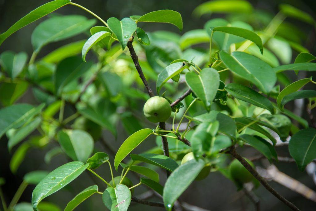 Der giftige Manchinelbaum mit einer Frucht in hellem grün