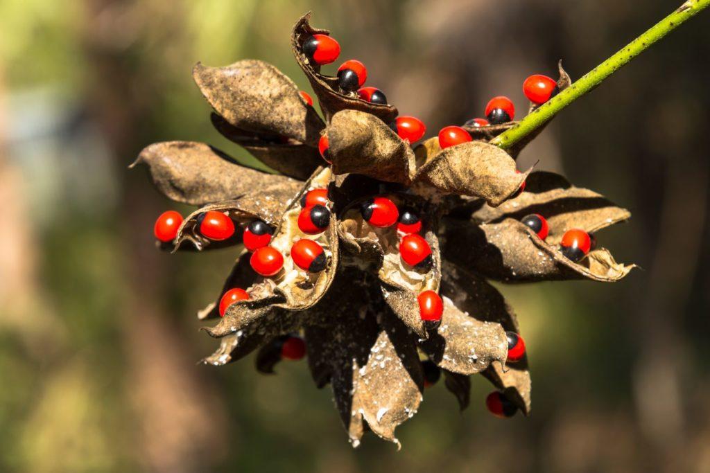Die giftige Paternosterbeere trägt rote Früchte mit schwarzen Stellen.