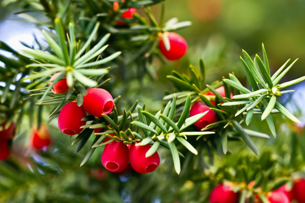 Ein Strauch einer Eibe trägt viele rote Früchte