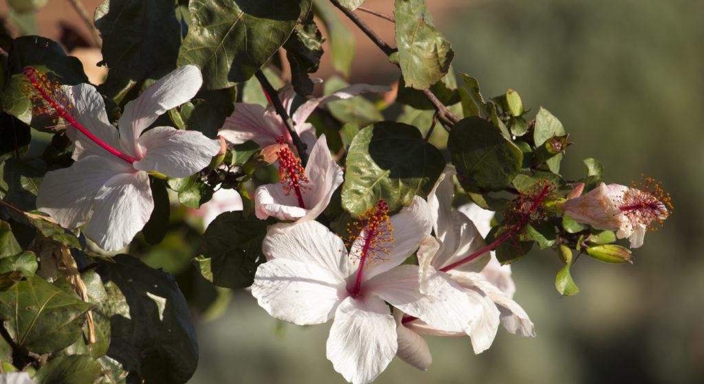 Hibiskus Arnottianus