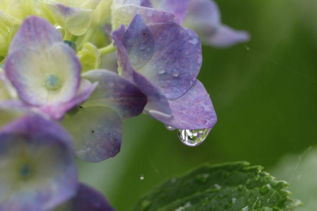 Hortensie mit nassen Blüten