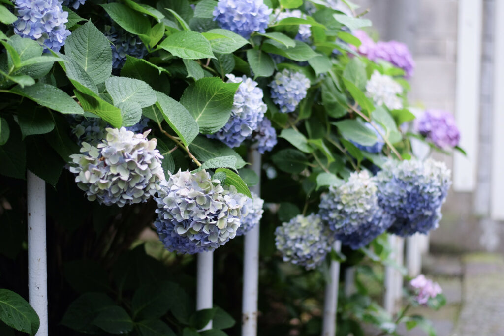 Hortensien lassen Blätter hängen