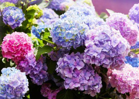 Hortensien Mit Bunten Blüten