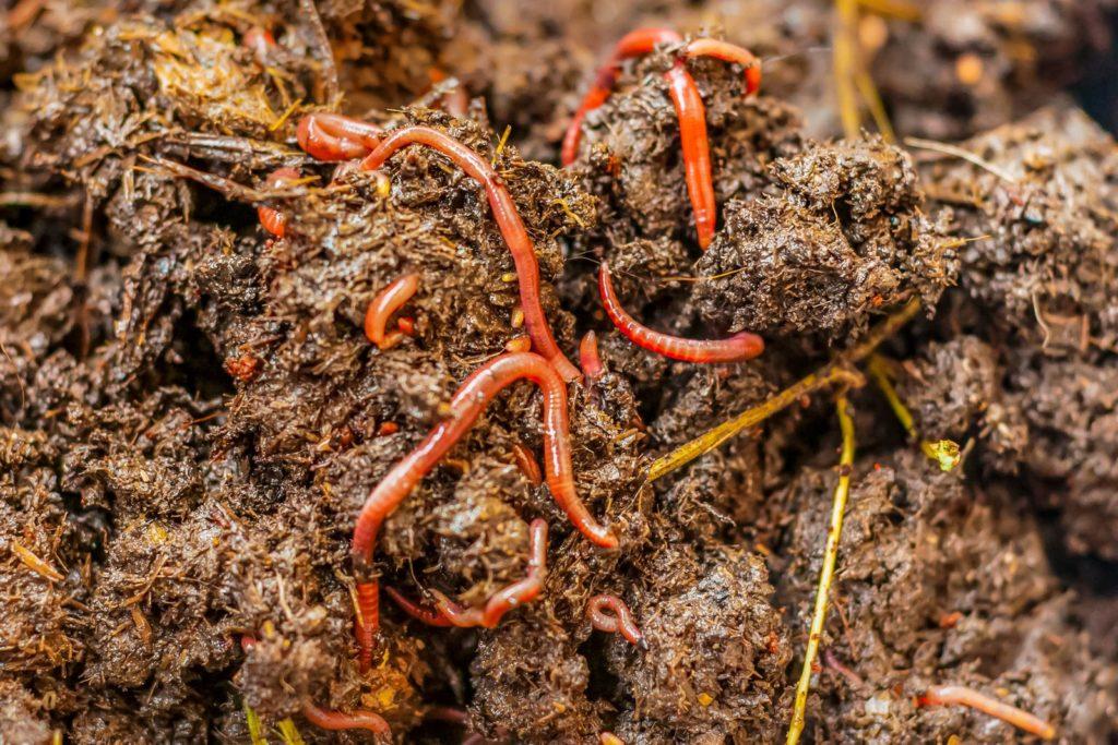 Würmer in feuchtem Kompost