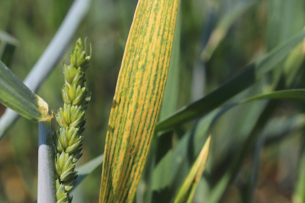 Weizenblätter mit Magnesiummangel