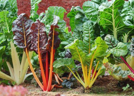 Mangold Im Garten Angebaut