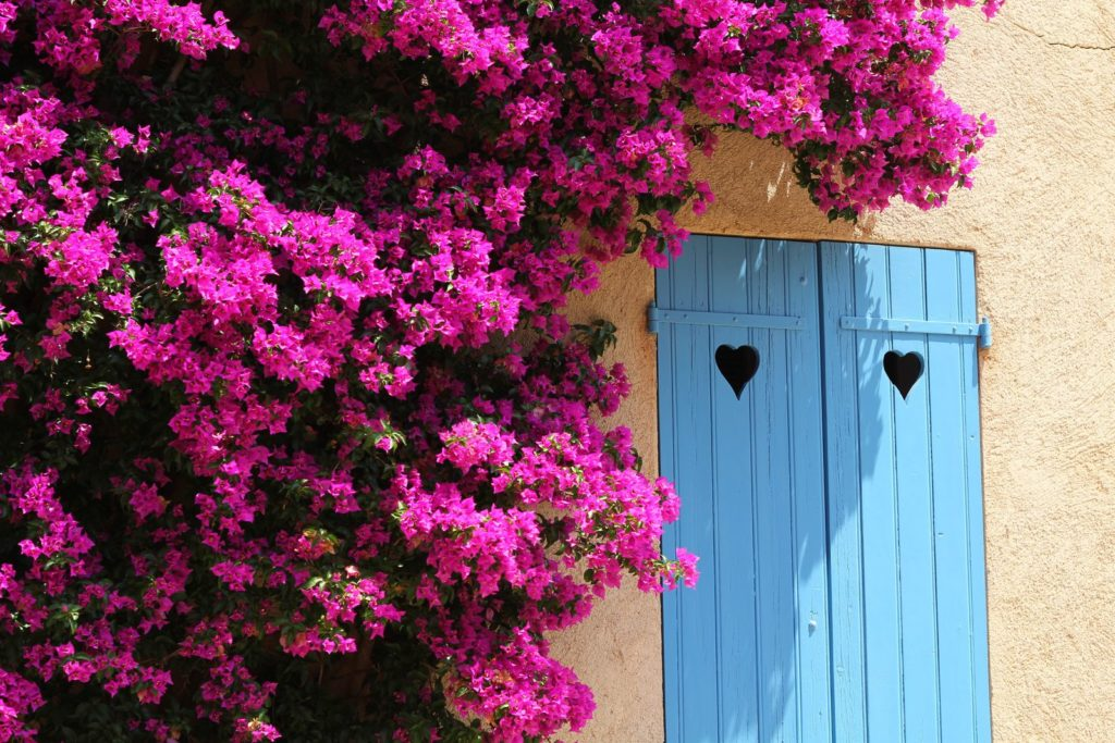 Drillingsblume wächst an Fassade im mediterranen Garten