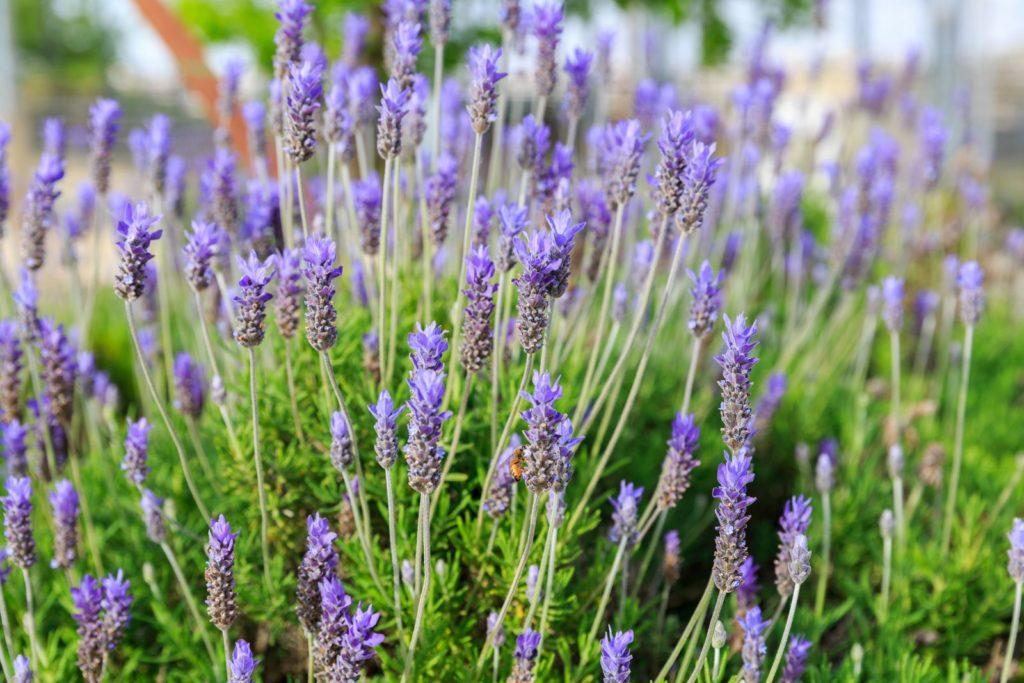 Zahn-Lavendel wächst im mediterranen Garten