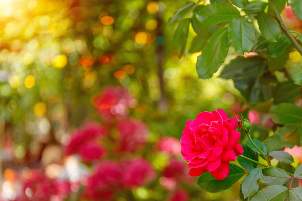 Rosen im mediterranen Garten