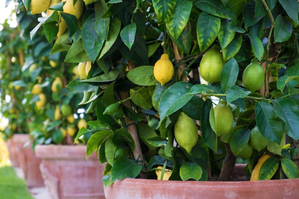 Zitronenbaum wächst im Topf im mediterranen Garten