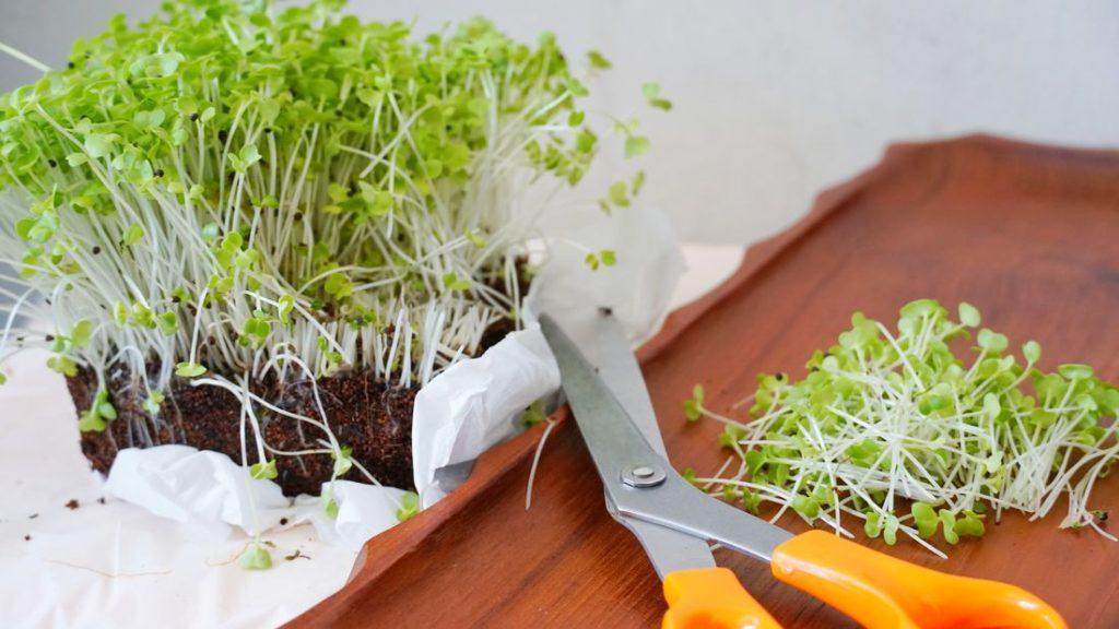 Microgreens mit Schere ernten