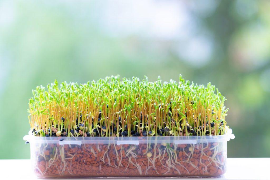 Microgreens wachsen in Plastikdose