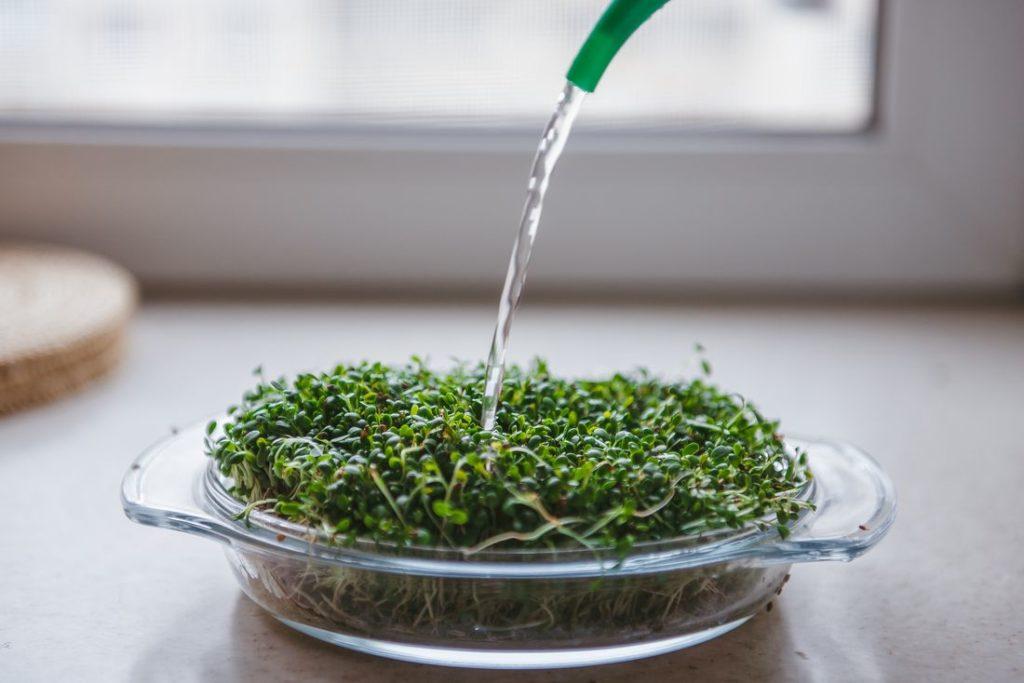 Microgreens gießen