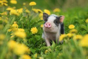 Minischwein Im Blumenfeld