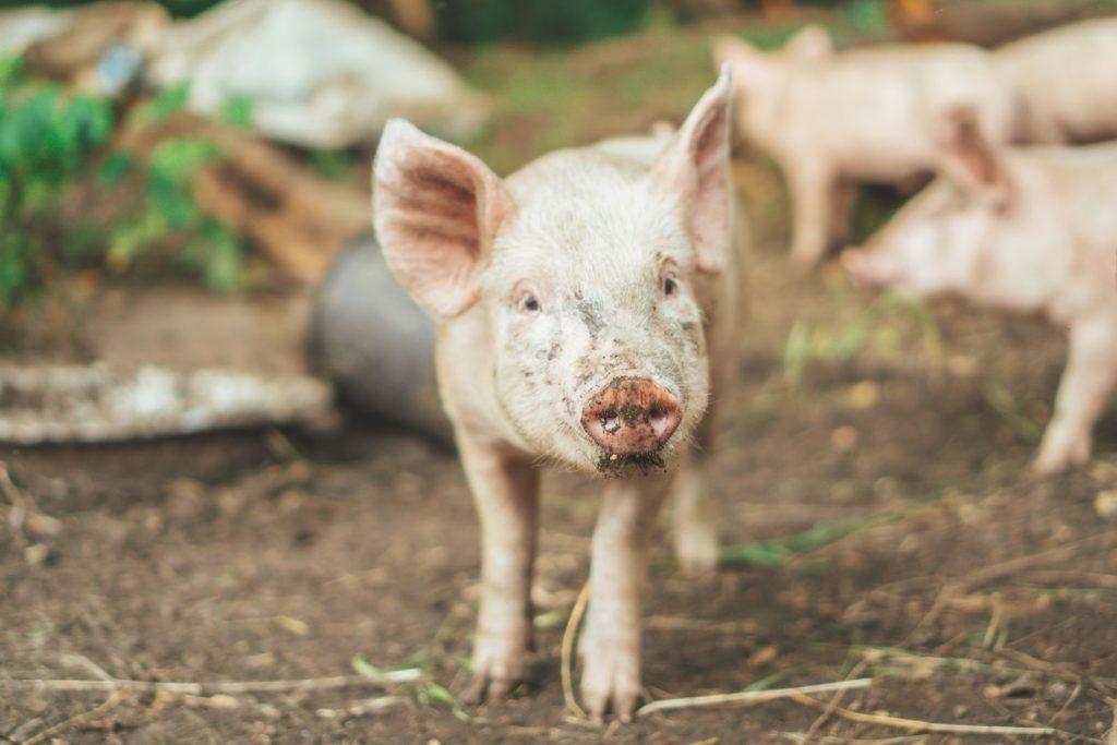 Minischwein mit Erde beschmiert