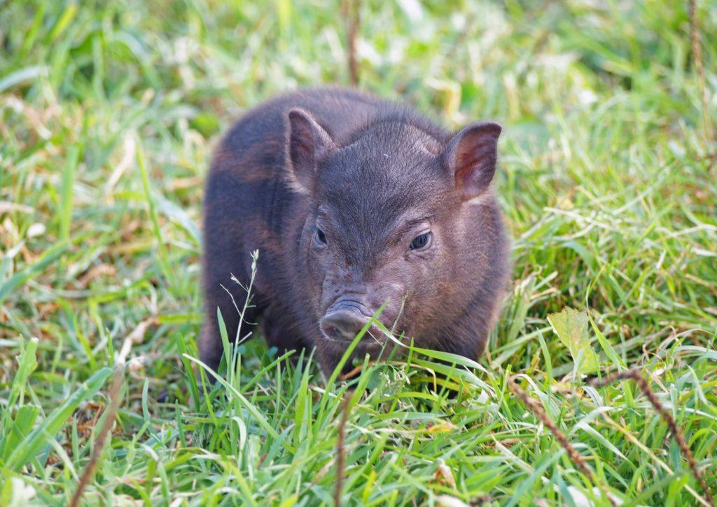 Minischwein im Gras