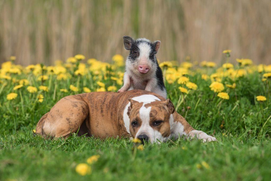 Minischwein und Hund im Garten