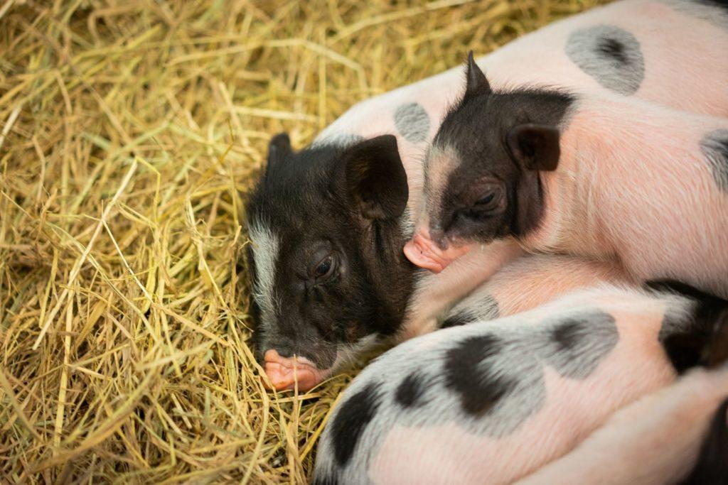 Minischweine auf Heu schlafend