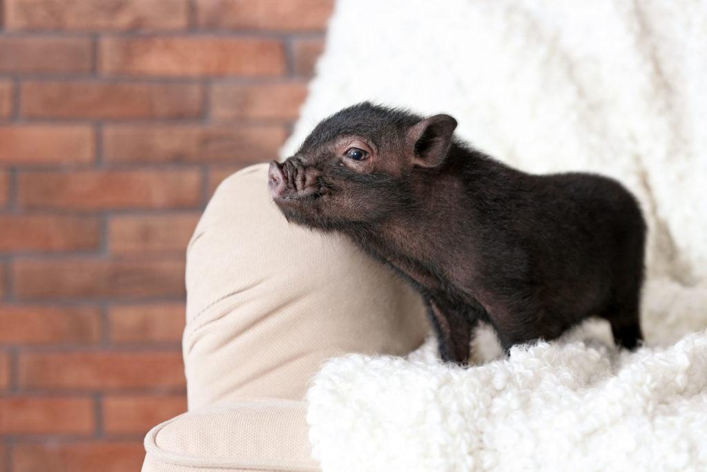 Minischwein auf dem Sofa