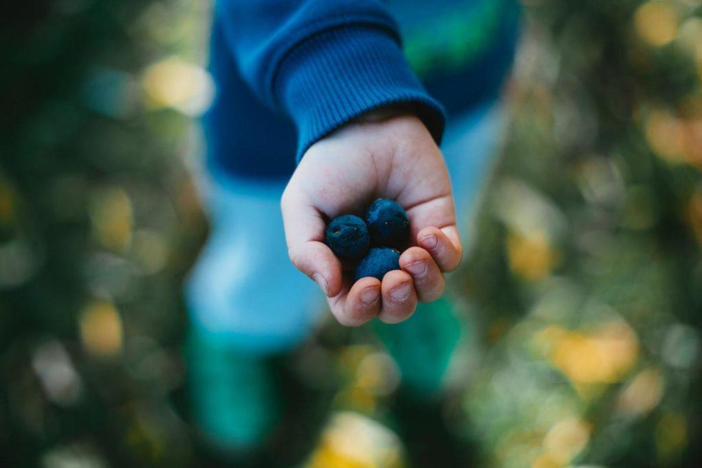 Heidelbeeren im Garten geerntet