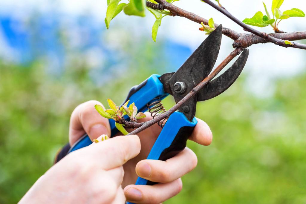 Obstbaumschnitt bei Zwergobst