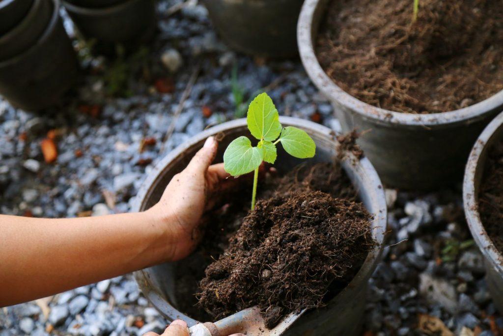 Eine kleine Okra-Pflanze wird in einen Topf eingepflanzt