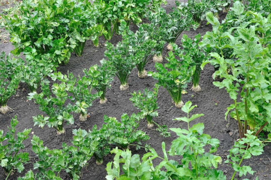 Reife Pastinakenpflanzen im Beet