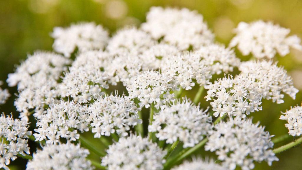 Pastinaken mit weißen Blüten
