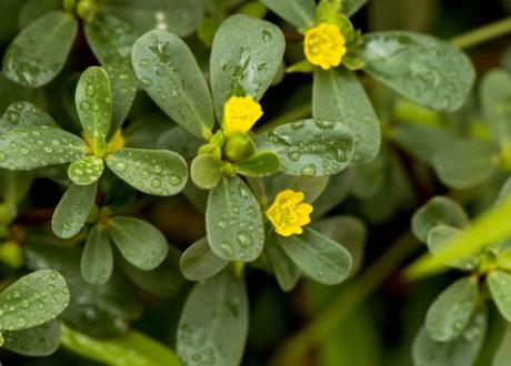 Portulak Mit Gelben Blüten Im Beet