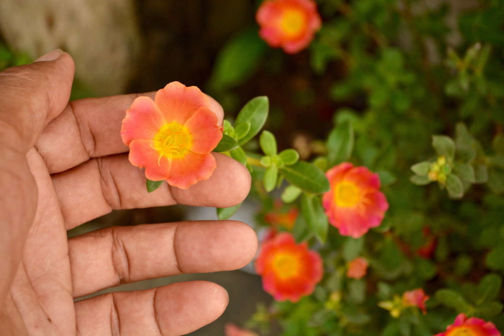 Portulak-Röschen in Orange von Hand berührt