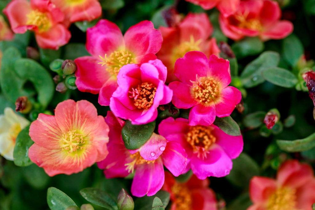 Portulak-Röschen mit pinken Blüten