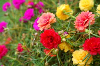 Portulak-Röschen: Tipps zum Anbau der Portulaca grandiflora