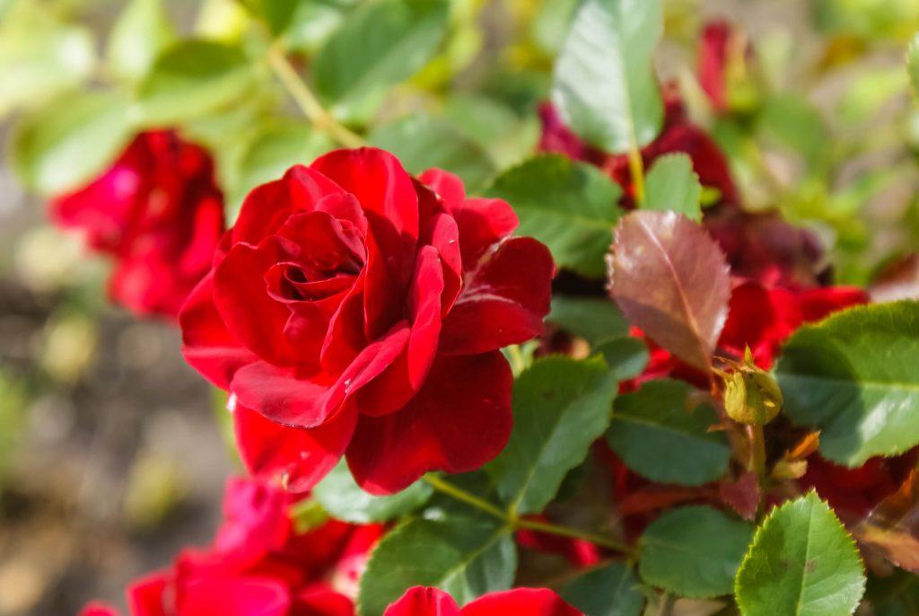 Rote blühende Rose im Garten