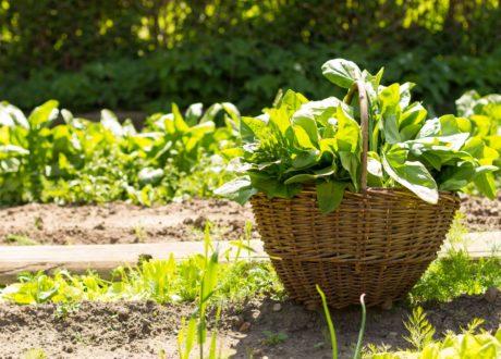 Korb Mit Spinat Steht Im Garten