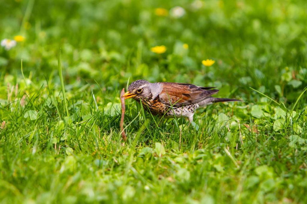 Wurm von Vogel aus Rasen gepickt