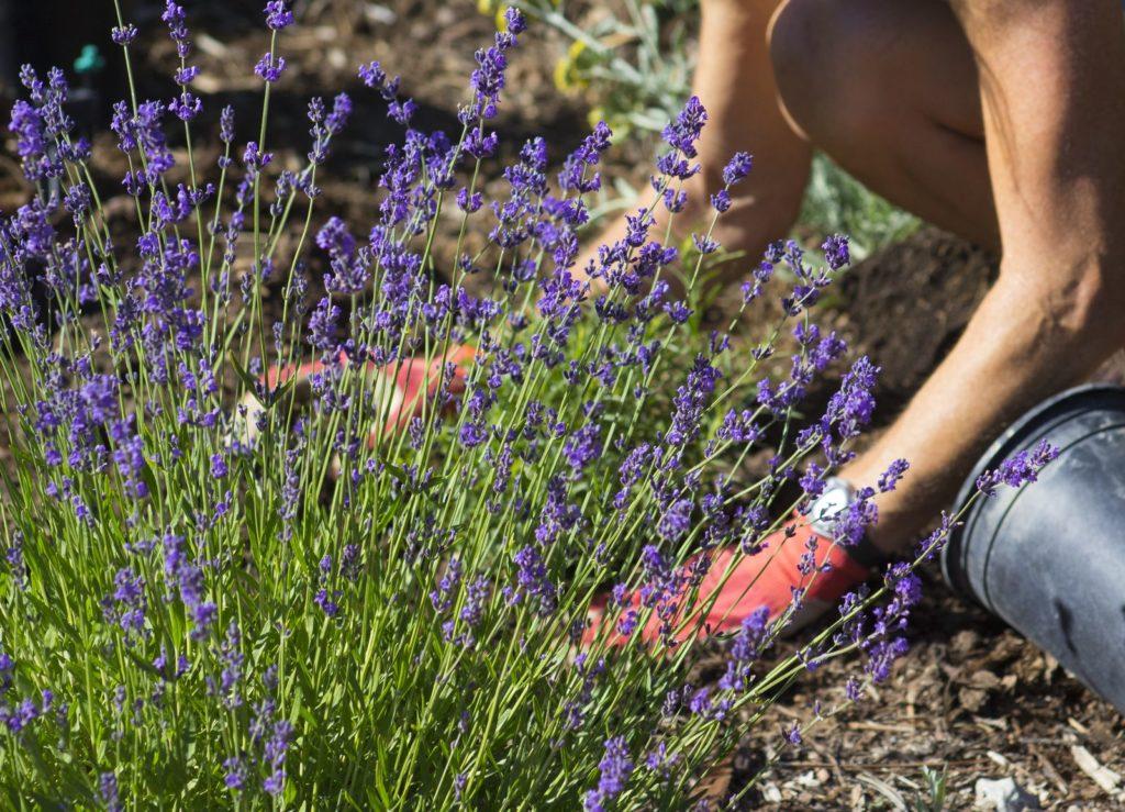 Lavendel im Garten gepflanzt