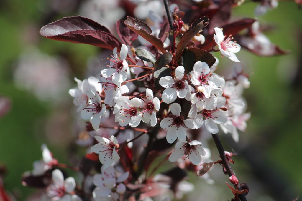 Blüten der Zwerg-Blutpflaume